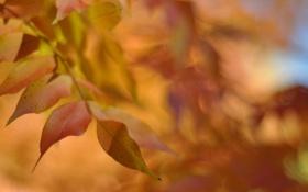Обои листья, осень, клен, желтые, оранжевые, макро, размытость