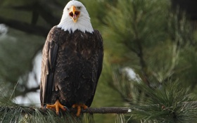 Картинка птица, хищник, ветка, орёл, Белоголовый орлан