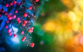Картинка листья, ягоды, веточка, фон