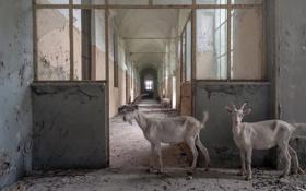 Картинка дом, фон, козы