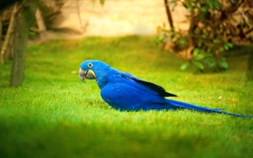 Обои зелень, трава, синий, газон, птица, попугай, боке