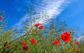 Обои небо, трава, облака, цветы, маки, луг