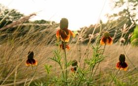 Обои поле, цветы, природа, flowers, эхинацея, Nikon D300