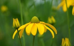 Обои цветок, желтый, ромашка, зелень, макро, бутон