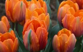 Обои капли, роса, лепестки, сад, тюльпаны, клумба
