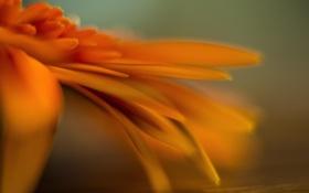 Обои цветок, календула, макро, оранжевый