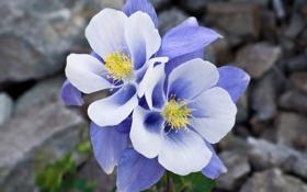Обои макро, цветы, синий, камни, голубой, нежность, Aquilegia