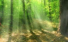 Обои лес, солнце, лучи, свет, деревья, природа, листва