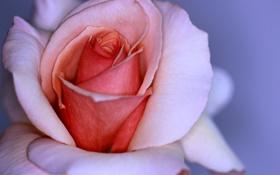 Обои цветок, макро, розовая, роза, лепестки