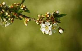 Картинка весна, вишня, цветение, листья, белые, ветка, макро