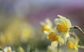 Картинка цветы, природа, весна, желтые, нарциссы