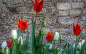 Картинка листья, стена, лепестки, двор, тюльпаны
