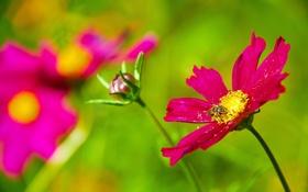 Картинка растение, цветок, пчела, насекомое, лепестки