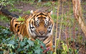 Обои кошка, взгляд, тигр, суматранский