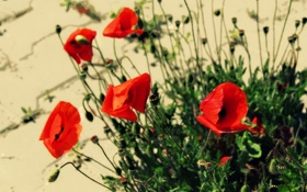 Обои цветы, маки, лепестки, красные