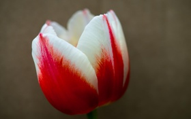 Картинка макро, лепестки, тюльпан, цветок