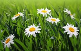 Картинка трава, цветы, природа, ромашки, зеленая