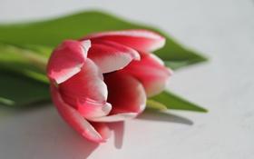 Картинка тюльпан, лепестки, красные, белые