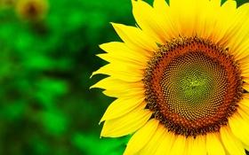 Обои цветок, лето, макро, желтый, природа, растение, подсолнух