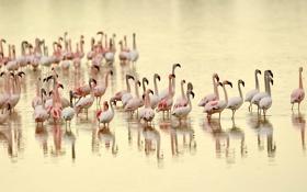 Картинка природа, фламинго, птицы