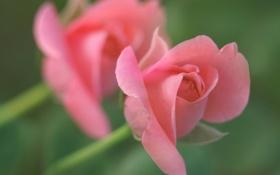 Обои роза, лепестки, бутон, нежность