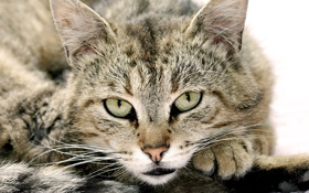 Обои глаза, кот, усы, взгляд, морда