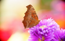 Обои природа, бабочка, Gorgeous