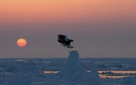 Картинка закат, птица, хищник, льдины, Белоплечий орлан