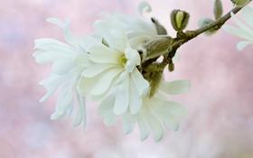 Обои белый, макро, нежность, весна, магнолия