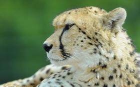 Обои взгляд, морда, пятна, гепард, профиль