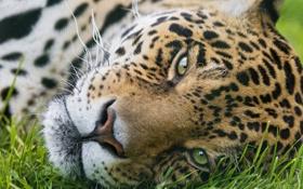 Обои кошка, трава, морда, ягуар, ©Tambako The Jaguar