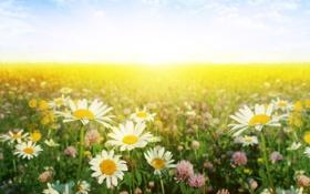 Картинка цветы, природа, ромашки, луг, клевер, nature, flowers