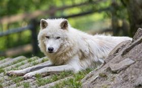 Картинка белый, трава, взгляд, отдых, волк, хищник, ©Tambako The Jaguar