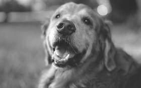 Картинка собака, черно-белое, лабрадор