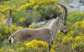 Обои Пиренейский козёл, или пиренейский козерог, или иберийский тур (Capra pyrenaica), Сьерра-де-Франсия (Sierra de Francia), окрестности ...