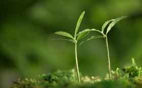 Обои зелень, макро, ростки, растения, весна, зеленые, листики