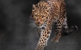Картинка Леопард, хищник, большая кошка