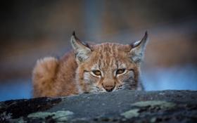 Картинка морда, хищник, засада, уши, рысь, дикая кошка, выглядывает