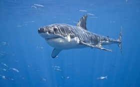 Картинка море, рыбы, акула, красава, Белая акула