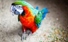 Картинка птица, фон, попугаи