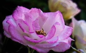 Картинка цветок, роза, куст, лепестки, сад