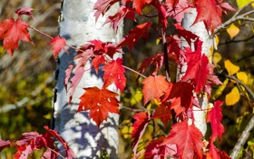 Обои осень, листья, дерево, ствол, багрянец