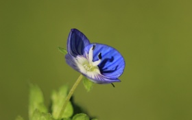 Обои цветок, синий, фон, вероника