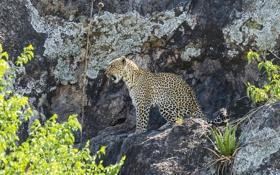 Обои хищник, оскал, скалы, леопард