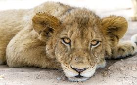 Картинка кошка, взгляд, морда, лев, детёныш, львёнок, ©Tambako The Jaguar
