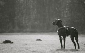 Обои фото, настроение, чёрно-белое, собака