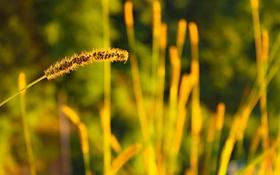Обои трава, макро, природа, обои, колос, растения, размытость