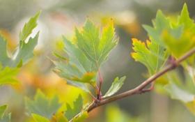 Обои листья, клен, природа, зелень, ветка, дерево