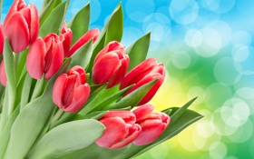 Обои тюльпаны, цветы, красные тюльпаны, боке