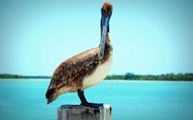 Обои животное, птица, клюв, стоит, пеликан